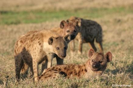 Les hyènes tachetées ont des comportements sociaux très complexes