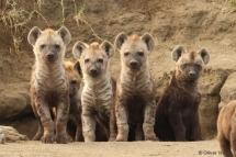 Jeunes hyènes tachetées au terrier commun