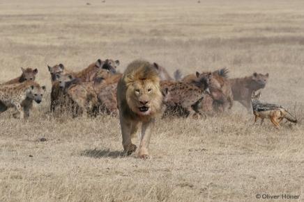 Les Lions sont des rivaux féroces