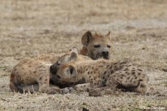 Deux jeunes hyènes lors de la tétée