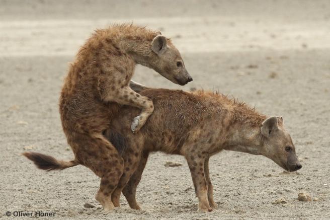 Accouplement entre hyènes tachetées