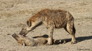 Spotted hyena male grooms female