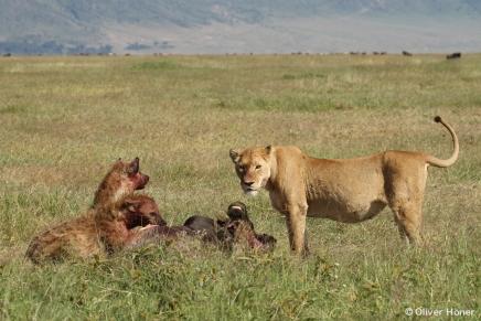 Deux hyènes et une lionne pour un gnou