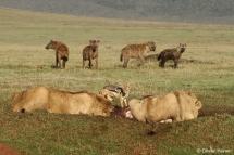 De jeunes lions et des hyènes à une carcasse