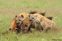 Conflit avec des lions