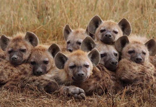 """Résultat de recherche d'images pour """"hyenes"""""""