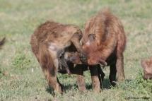 Deux hyènes se saluent