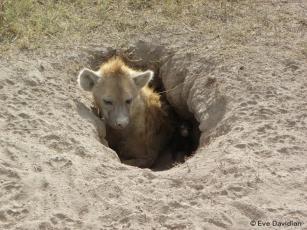 Terrier de naissance den avec une seule entrée étroite