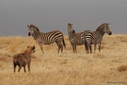 Hyène et zèbres dans le Cratère du Ngorongoro