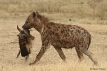 Hyène tachetée tenant un crâne de gnou