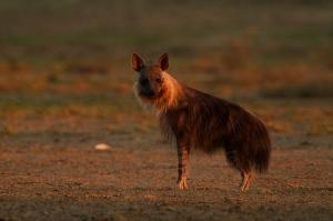 Hyène brune