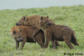 Hyenas mating