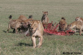 Hyena defending kill against lioness