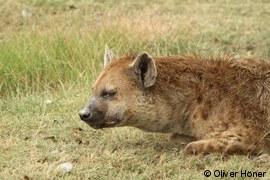 Sick hyena