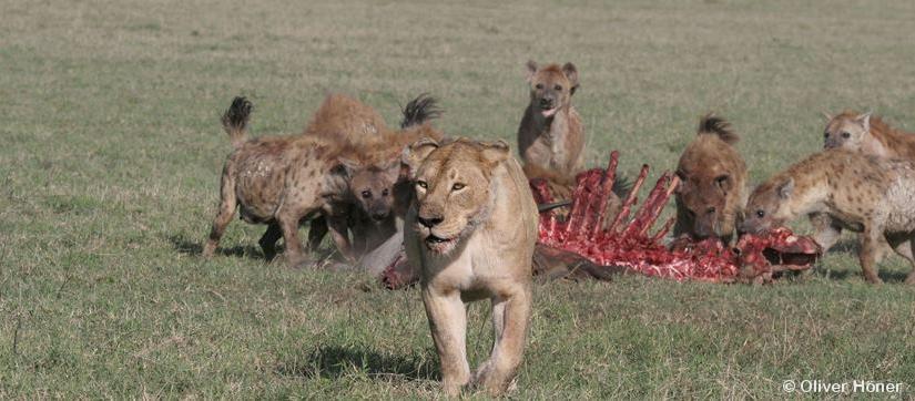 Le conflit avec les lions