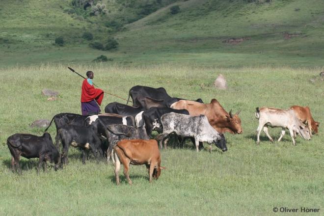 Pâtre Massaï avec son bétail