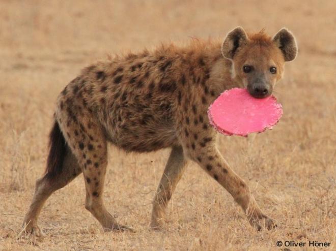 Hyène mâle jouant avec le couvercle d'un seau