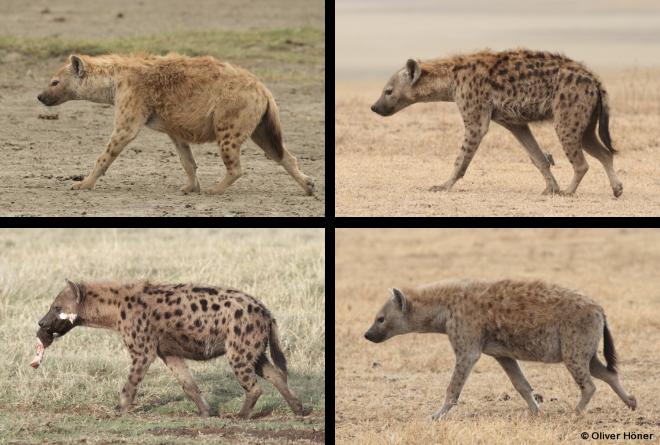 Chaque hyène possède un motif de taches distinct