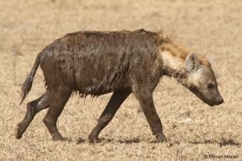 Une hyène très sale