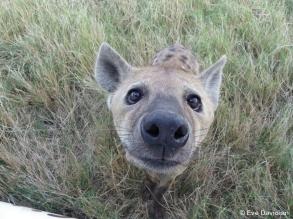 Gros plan d'une hyène