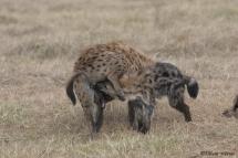 Cérémonie de salutation entre jeunes et hyène adulte