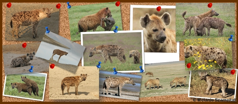 Signaler des hyènes