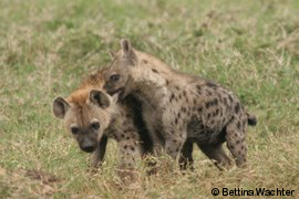Streitende Hyänenzwillinge