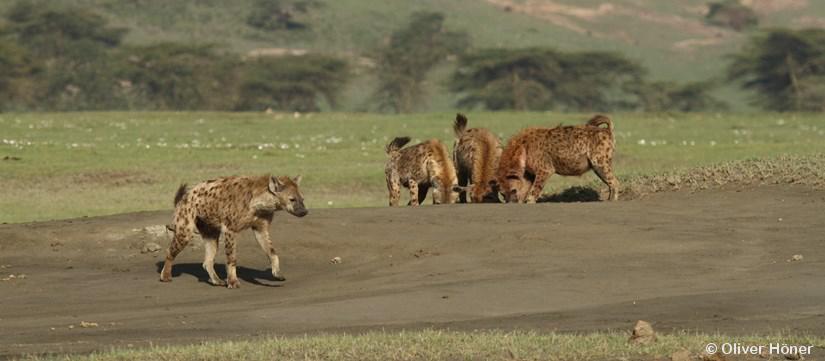Les fils à maman ne sont pas des losers chez les hyènestachetées!