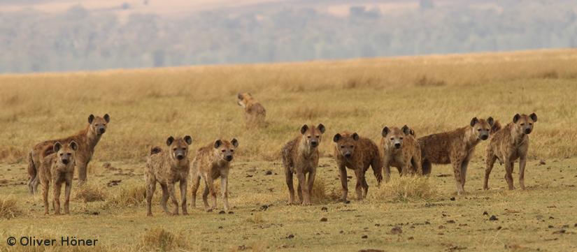 L'union fait la force: Pourquoi les hyènes femellesdominent